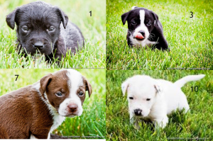 Pit Puppies